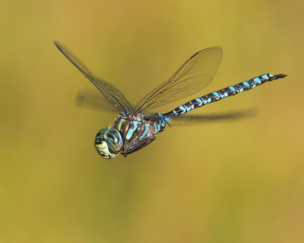 Canada Darner by Terry Thormin