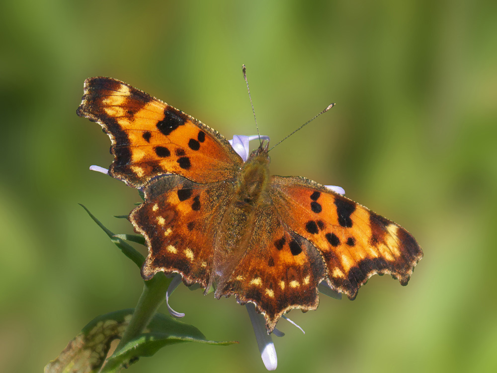 Green Comma Butterfly by Terry Thormin