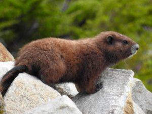 Marmot Willow