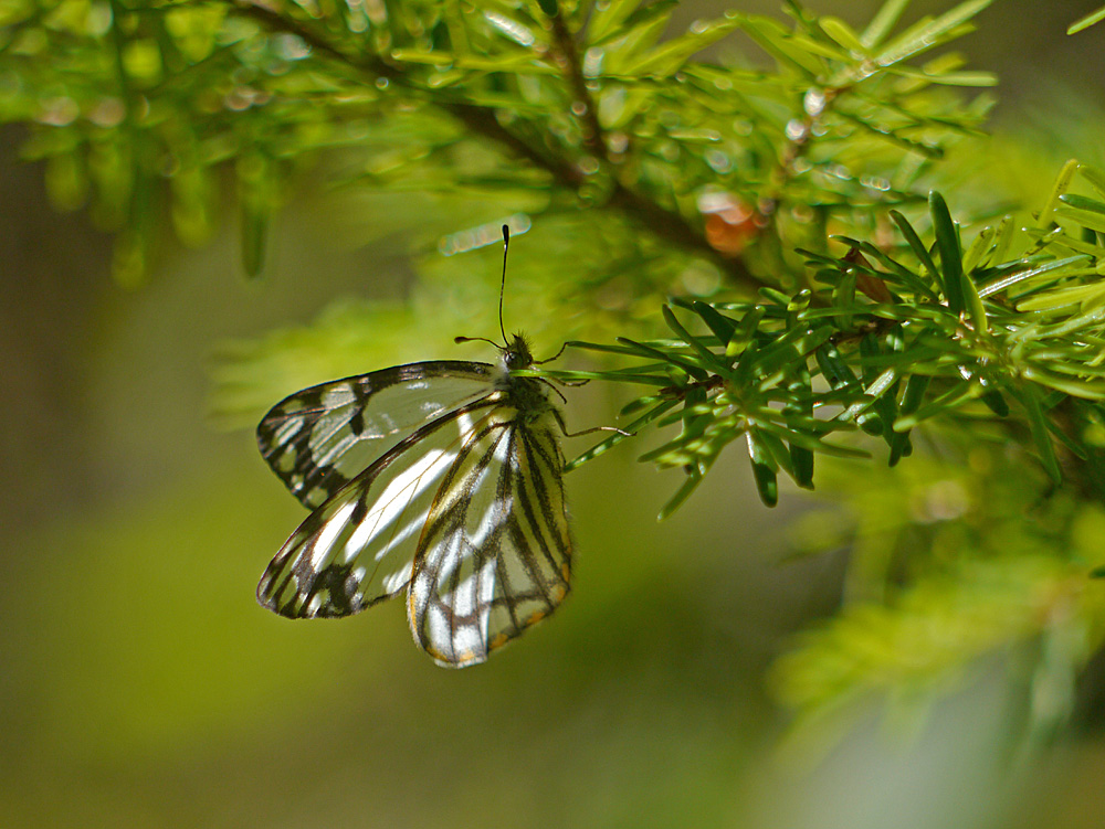 Butterfly on Yew Tree
